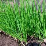 Выращивание семян репчатого лука и лука-севка