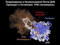 Как клетка ремонтирует «архивную» ДНК