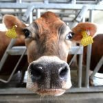 Danone привезет в Сибирь пять тысяч коров