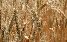 Ученые из ТюмГУ получили ценный мутант пшеницы