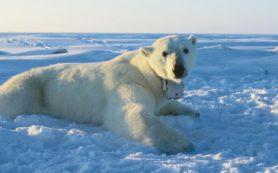 Таяние льдов ставит под угрозу выживание белых медведей