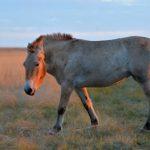 """Ученые Оренбургского заповедника опровергли теорию """"домашнего происхождения"""" лошадей Пржевальского"""