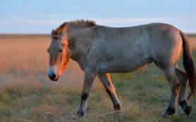 Ученые Оренбургского заповедника опровергли теорию «домашнего происхождения» лошадей Пржевальского