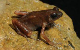 Герпетологи обнаружили в пещерах Таиланда лягушку из ранее неизвестного рода