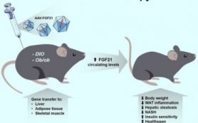 Генотерапия лечит инсулинорезистентность и ожирение у мышей