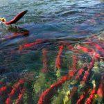 Почему рыба нерка впрыгивает из воды?