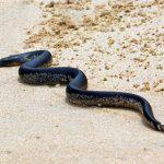 На пляжах Пхукета появились ядовитые змеи
