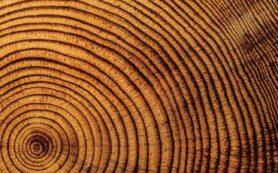 Биологи СФУ доказали, что годичные кольца деревьев содержат сведения о климатических условиях, в которых они росли