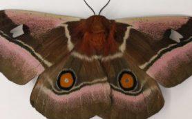 Звукопоглощающие крылья и «мех» на брюшке помогают некоторым мотылькам прятаться от летучих мышей