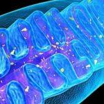 Ученые ИТЭБ РАН и МарГУ выяснили, как клетки печени защищаются от диабета