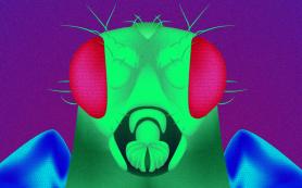 Генетики раскрыли секрет долголетия мух-мутантов