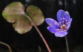 Аномалии предновогодней недели: зимнее цветение в Средней России