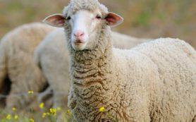 Сонные веретена человека также обнаруживаются у бодрствующих овец