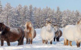 Уникальность якутских лошадей связана с особенностями их питания