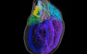 Новая трехмерная карта демонстрирует «маленький мозг» в сердце