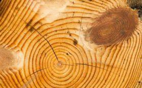 Как раскрывают тайны прошлого и узнают будущее по древесным кольцам