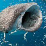 Названа самая большая рыба в мире