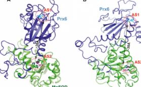 Получена структура уникального гибридного белка, защищающего от радиации и свободных радикалов