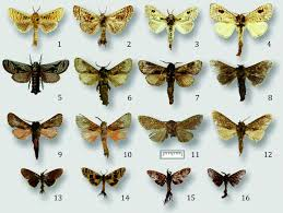 Энтомологи открыли два новых рода тропических бабочек