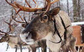 На Курорте Красная Поляна открылась Ферма северных оленей