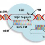 Новый метод редактирования генома аккуратнее и эффективнее, чем CRISPR/Cas9