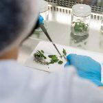 Учёные КФУ начали применять микропрививки для производства саженцев винограда