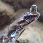 Ящерицы анолисы используют пузырь, «приклеенный» к морде, чтобы дышать под водой