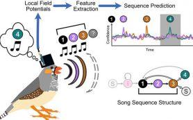 Расшифровка сигналов мозга птиц в слоги их песен
