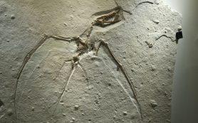 В пустыне Атакама нашли окаменелые останки летающего ящера