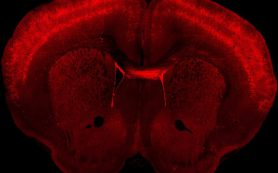 Составлен первый атлас клеток моторной коры мозга